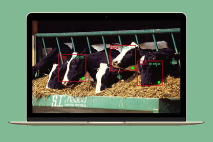 Got A I ? Facial Recognition Now Works on Cows For Better