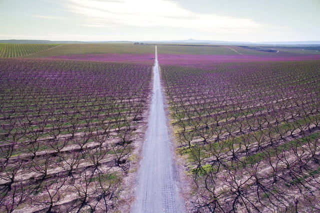 fotografia drones aerial picture taken with drone of a beautiful long straight road between the blooming trees during spring